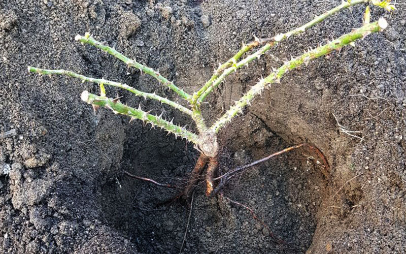 grow-bare-root3
